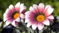 Sfondo HD fiori